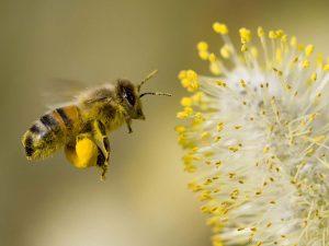 pollen lingzhi